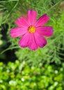 Free Cosmos Flowers Stock Photos - 17451373