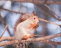 Free Squirrel On A Tree Royalty Free Stock Images - 17454019