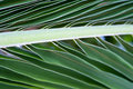 Free Palm Tree Leaf Macro Picture Royalty Free Stock Image - 17458846