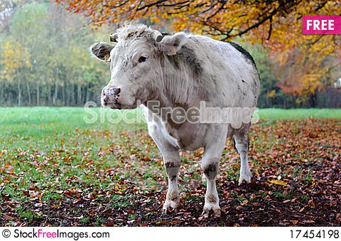 Free Cow With Autumn Landscape. Royalty Free Stock Photos - 17454198