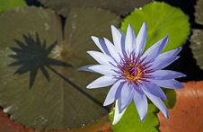 Free Blue Lotus Royalty Free Stock Photo - 17450795