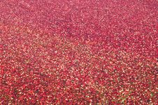 Cranberries Floating In Water