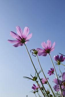 Free Cosmos Flowers Stock Photos - 17451133