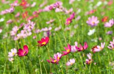 Free Cosmos Flowers Stock Images - 17451404