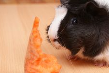 Free Little Guinea Pig Stock Images - 17451774