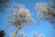 Free Hoarfrost On Birch Trees Stock Photo - 17451890