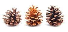 Free Pine Cones Royalty Free Stock Photography - 17451897