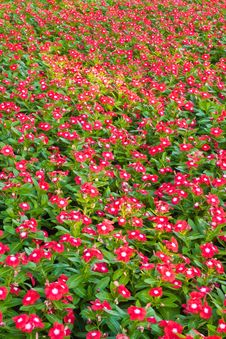 Free Planting Of Red Flower Stock Photo - 17452080