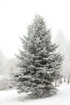 Free Winter Fir Tree Royalty Free Stock Photos - 17453058