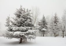 Free Winter Fir Trees Stock Photo - 17453130