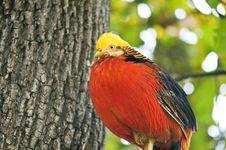 Free Pheasant Stock Photo - 17453190