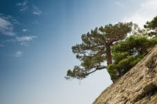 Free Pine Stock Photo - 17453260