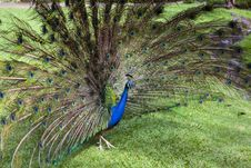 Free Peacock Trying To Impress Female Royalty Free Stock Images - 17453809