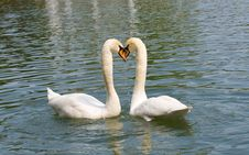 Free Two White Swans In Love Stock Images - 17453874