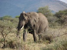 Free Elephant In Serengeti Stock Photos - 17454043