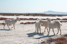 Free White Goats Stock Photography - 17454092