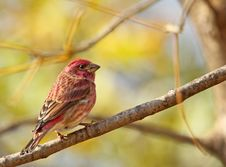 Free Male House Finch, Carpodacus Mexicanus Stock Image - 17454871