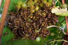 Free A Lot Of Wasps Stock Photography - 17455322