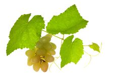 Free Green Vine With Grepes On White Royalty Free Stock Images - 17455499