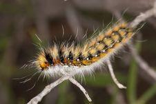 Free Lappet Moth Caterpillar Royalty Free Stock Photography - 17456017