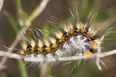 Lappet Moth Caterpillar Stock Images
