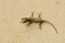 Free Gecko Royalty Free Stock Images - 17457389