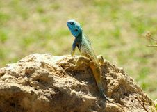 Blue Headed Tree Agama Acanthocercus Atricollis Royalty Free Stock Photo