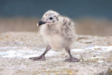 Free Yellow-legged Gull (Larus Michahellis) Chick On Th Royalty Free Stock Image - 17457536