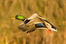 Free Mallard Duck In Flight Stock Photography - 17457572