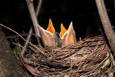 Free Hungry Baby Blackbirds / Turdus Merula Royalty Free Stock Image - 17457596
