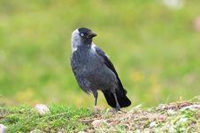Jackdaw / Corvus Monedula Stock Photography