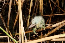 Free Little Egret Chick ( Egretta Garzetta ) Royalty Free Stock Photography - 17458497