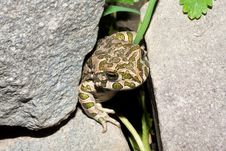 Green Toad (Bufo Viridis) On The Hot Rock