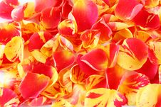 Free Rose Petals Royalty Free Stock Photo - 17458925