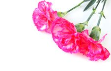 Three Carnations Isolated Royalty Free Stock Images