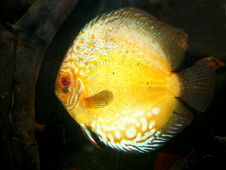 Free Discus Fish Stock Photos - 17459333
