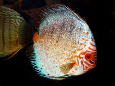 Free Discus Fish Stock Photos - 17459343