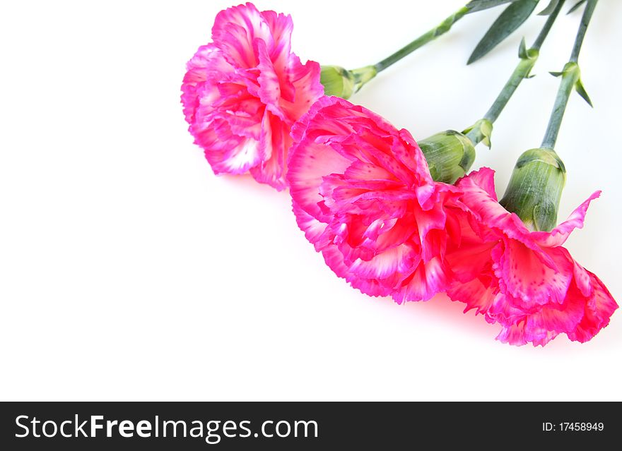 Three carnations isolated