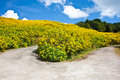Free The Road In Flower Yellow Field Stock Image - 17464131