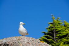 Free Seagull Royalty Free Stock Photography - 17460057