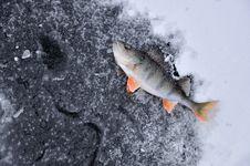 Free Perch On Ice Royalty Free Stock Photos - 17460138