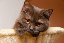Free British Cat Looks Royalty Free Stock Photography - 17460937