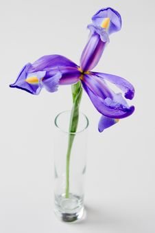 Free Iris In Glass Vase Royalty Free Stock Photography - 17462277