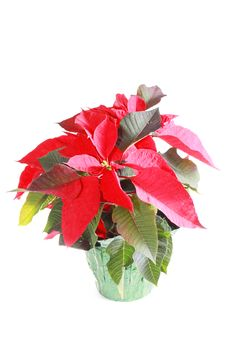Free Poinsettia Royalty Free Stock Image - 17462356
