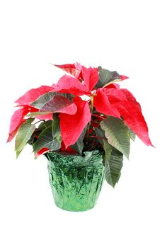 Free Poinsettia Stock Photos - 17462373