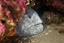 Wolf Eel Stock Images