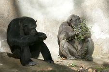 Free Two Chimpanzees At Zoo Stock Images - 17463524