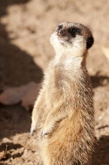 Free Suricate Or Meerkat Or Mongoose Royalty Free Stock Photography - 17463557