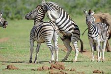 Free Zebra Fighting Royalty Free Stock Image - 17463626