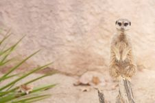 Free Suricate Or Mongoose Or Meerkat Stock Image - 17463701